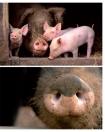 Leseprobe Das Schweinebuch