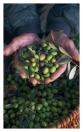 Leseprobe Oliven