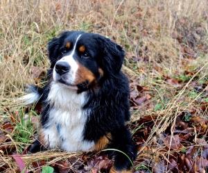 Idealer Berghund - Der Berner Sennenhund, © Fotolia