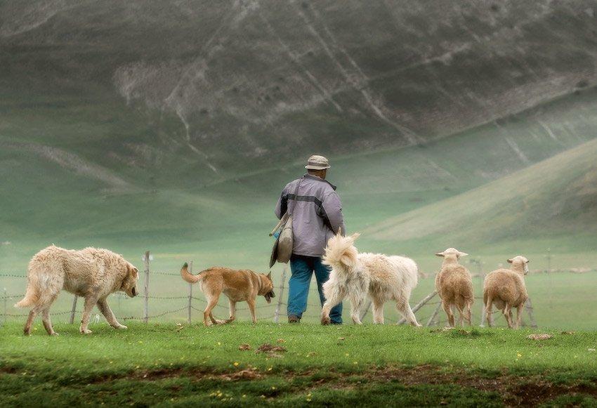 Hirtenhunde sind treu und zuverlässig, © Fotolia