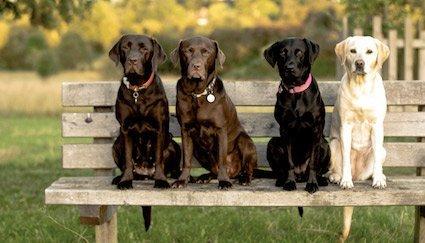 Der Labrador - einer der beliebtesten Familienhunde, © Fotolia