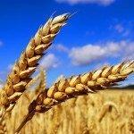 Reifes Getreide für die Herstellung von Mehl.