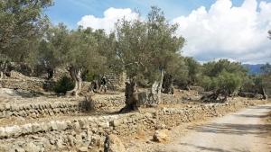Mediterrane Vegetation, wohin das Auge reicht: Olivenbäume in der Sierra de Tramuntana, einem Gebirgszug im Nordwesten von Mallorca